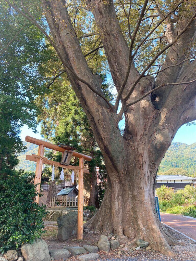 上諏訪神社の木 弥彦
